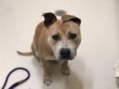 Adopt HAZEL a Tan/Yellow/Fawn Pit Bull Terrier / Mixed dog in Fremont
