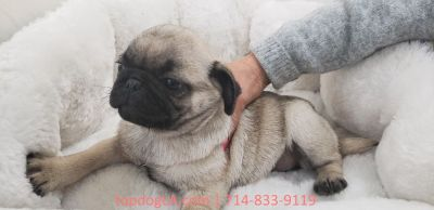 Pug Puppy - Female - Porky ($1,299)
