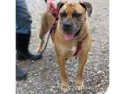 Adopt Stormy a Bullmastiff / Rottweiler / Mixed dog in Indiana, PA (21565482)