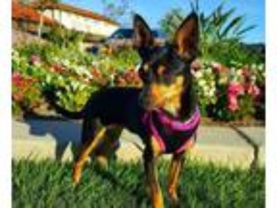 Adopt Lovey a Miniature Pinscher