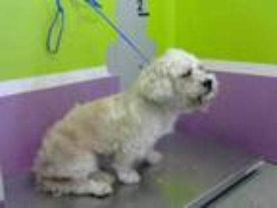 Adopt a White Shih Tzu / Poodle (Miniature) / Mixed dog in Houston