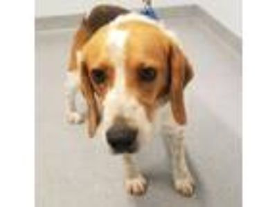 Adopt Willie a Beagle, Mixed Breed