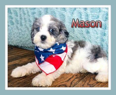 Mason Male Cockapoo