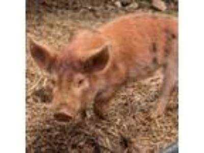 Adopt Lucy a Pig (Farm) farm-type animal in Asheville, NC (24547177)