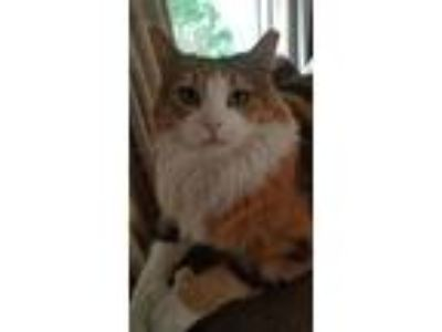 Adopt Mittens - sweet polydactyl a Calico, Domestic Long Hair