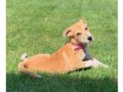 Adopt Lilly a Tan/Yellow/Fawn - with White Australian Shepherd / Mixed dog in