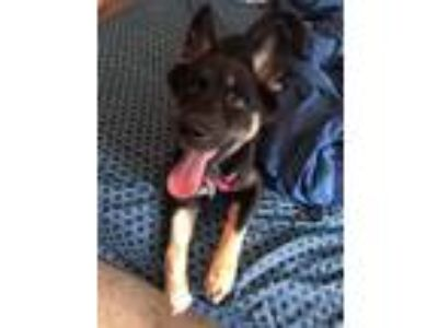 Adopt Stella a Brown/Chocolate - with Black German Shepherd Dog / Mixed Breed