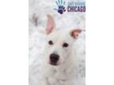 Adopt gizmo a White American Staffordshire Terrier / American Pit Bull Terrier /