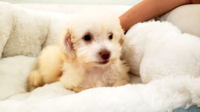 Maltipoo Puppy- Male- Boro ($1.250)