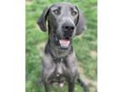 Adopt Storm a Merle Great Dane / Mixed dog in Valparaiso, IN (25512757)