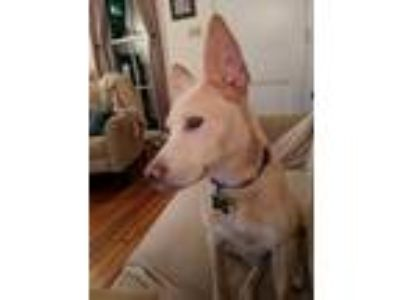 Adopt Jessie a Labrador Retriever, German Shepherd Dog