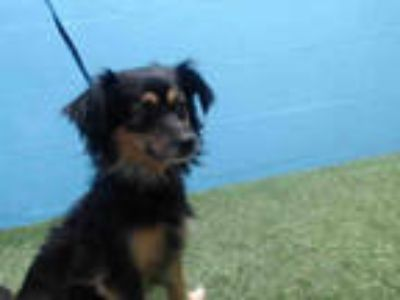 Adopt BENTLY a Black - with Tan, Yellow or Fawn Dachshund / Mixed dog in