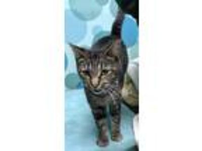Adopt Sugar a Gray, Blue or Silver Tabby Domestic Shorthair (short coat) cat in