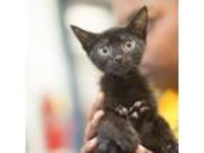 Adopt Glenn a All Black Domestic Longhair / Domestic Shorthair / Mixed cat in
