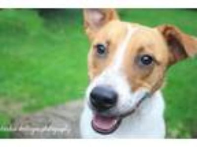 Adopt Skipper a White - with Tan, Yellow or Fawn Border Collie / Jack Russell