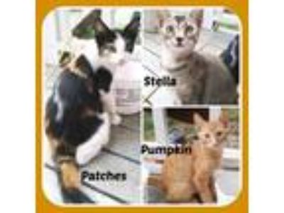 Adopt PATCHES, STELLA, & PUMPKIN a American Shorthair