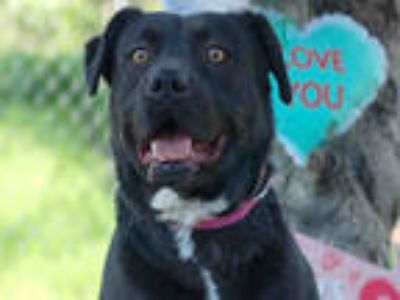Adopt ORLI a Black Mixed Breed (Medium) / Labrador Retriever / Mixed dog in Los