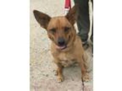 Adopt Jasmine a Cardigan Welsh Corgi, German Shepherd Dog