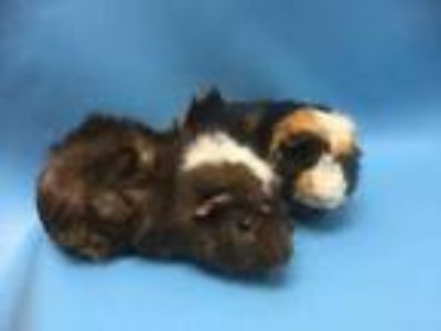 Adopt Thunder a Black Guinea Pig / Mixed small animal in Coon Rapids