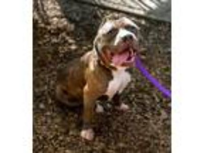 Adopt Enzo a Brindle American Staffordshire Terrier / Mixed dog in Corvallis