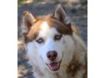 Adopt Asher a Siberian Husky / Mixed dog in Oakland, CA (25919706)