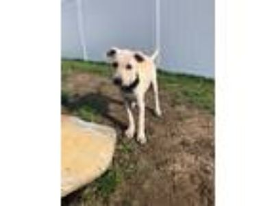 Adopt Ashlee a Tan/Yellow/Fawn Retriever (Unknown Type) / Mixed dog in Hudson