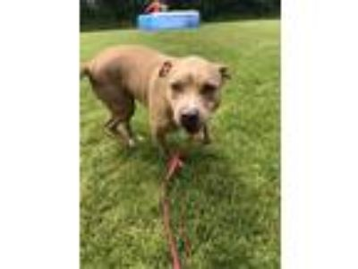 Adopt Eve a Tan/Yellow/Fawn American Pit Bull Terrier dog in Greenwood