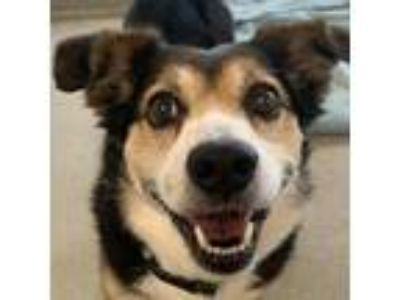 Adopt Waffles a Black Shepherd (Unknown Type) / Pembroke Welsh Corgi dog in
