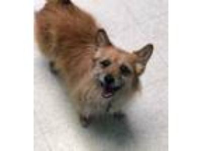 Adopt Elvis a Brown/Chocolate Cairn Terrier / Mixed dog in Altoona
