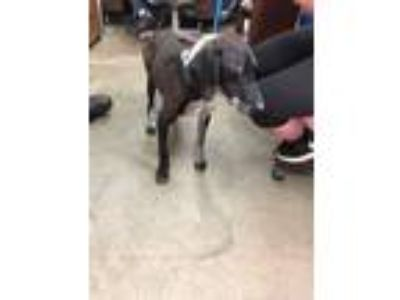 Adopt 14934 a Pointer / Catahoula Leopard Dog dog in Chatsworth, GA (25566331)