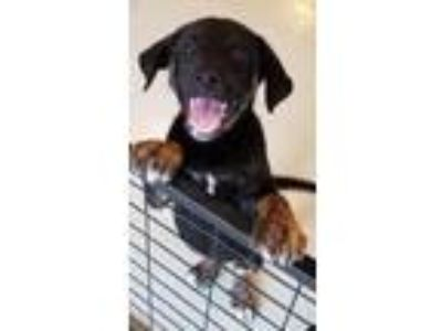 Adopt Jake n Bake a Labrador Retriever / Australian Shepherd / Mixed dog in