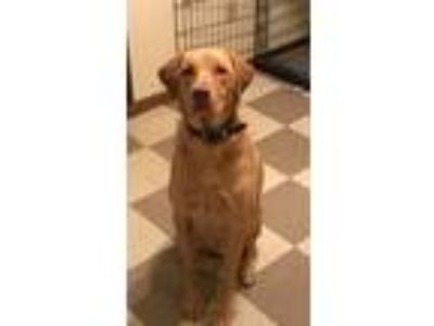 Adopt TEX a Tan/Yellow/Fawn Labrador Retriever dog in Knob Noster, MO (25201027)