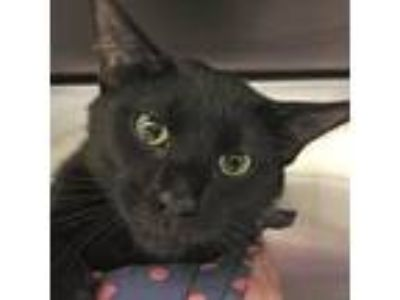 Adopt Blackie a All Black Domestic Shorthair / Domestic Shorthair / Mixed cat in