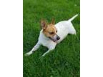 Adopt Batty a Jack Russell Terrier, Australian Cattle Dog / Blue Heeler