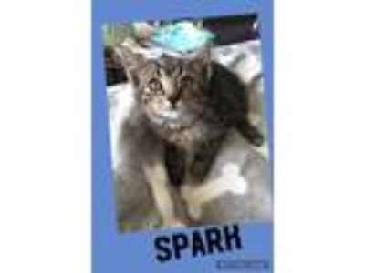 Adopt Spark a Brown Tabby Domestic Shorthair (short coat) cat in Toms River