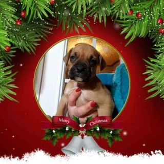 Boxer PUPPY FOR SALE ADN-108873 - CKC Boxer Puppy Male