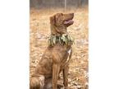 Adopt Tricia a Brindle Mixed Breed (Large) / Mixed dog in Westhampton