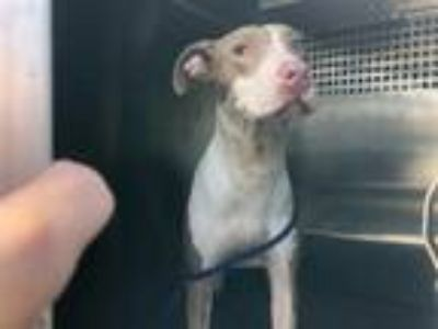Adopt BUNNY a White - with Tan, Yellow or Fawn American Pit Bull Terrier / Mixed