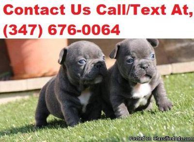 QIOLO B/G French Bulldog Puppies For Sale