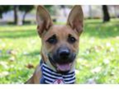 Adopt Enroll a Brown/Chocolate Shepherd (Unknown Type) / Labrador Retriever /