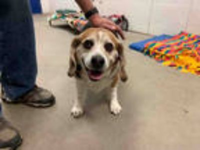 Adopt STANLEY a Tricolor (Tan/Brown & Black & White) Beagle / Mixed dog in