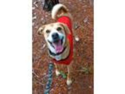 Adopt Marshall a Labrador Retriever, Hound