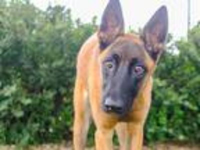 Adopt PARKOUR a Tan/Yellow/Fawn - with Black Belgian Malinois / Mixed dog in