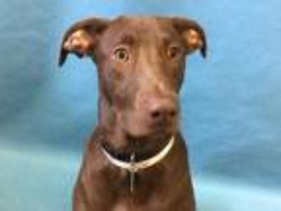 Adopt Brownie a Brown/Chocolate Labrador Retriever / Mixed dog in Woodbury