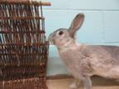 Adopt Lydia a Grey/Silver American / Mixed (medium coat) rabbit in Newport