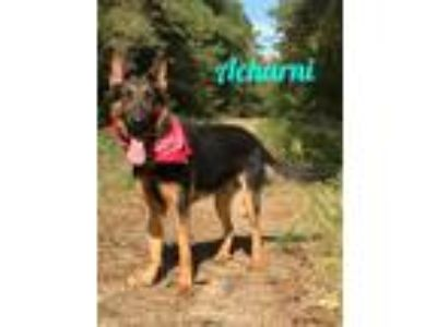Adopt Acharni a German Shepherd Dog
