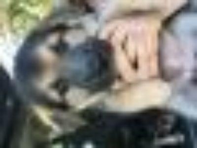 Felicia No Capicia Shepherd - Husky Dog