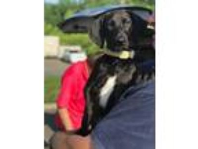 Adopt Secret a Hound, Labrador Retriever