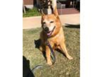 Adopt Zoe a Red/Golden/Orange/Chestnut Chow Chow / Blue Heeler / Mixed dog in