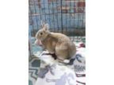 Adopt Juliette a Bunny Rabbit